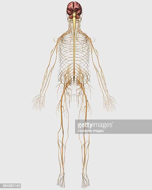 ilustrações de stock, clip art, desenhos animados e ícones de medical illustration of peripheral nervous system with brain. - sistema nervoso central