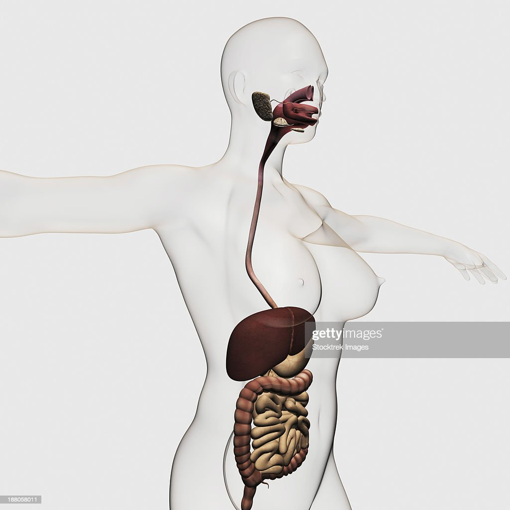 Medical Illustration Of The Human Digestive System Oral Cavity