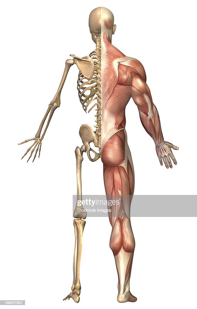 Medical Illustration Of The Human Skeleton And Muscular System Back