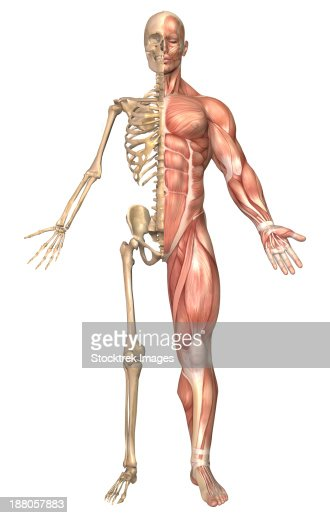 Anatomy Of Male Human Skeleton Front View And Back View Stock