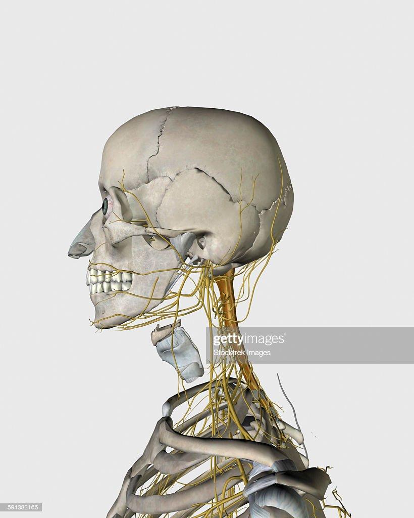 Medical Illustration Showing Thyroid Cartilage And Nerves Around ...