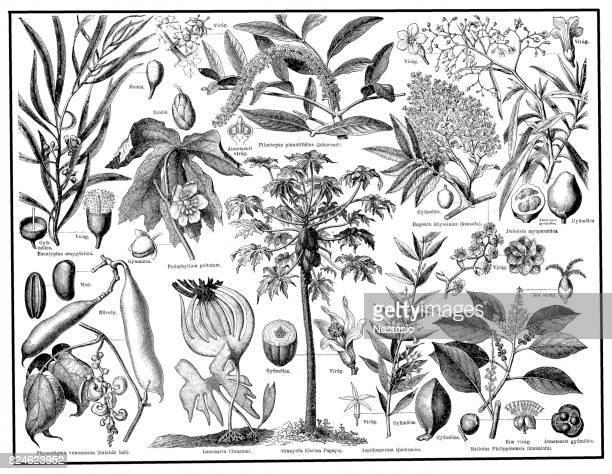 医療植物 - ユーカリの木点のイラスト素材/クリップアート素材/マンガ素材/アイコン素材