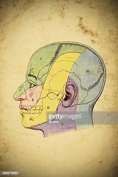 medizinische wissenschaftliche illustration auf gelbes papier: head sensory zonen - menschlicher kopf stock-grafiken, -clipart, -cartoons und -symbole