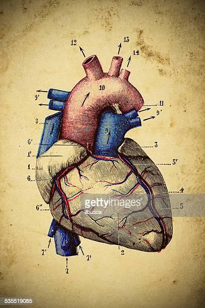 medical scientific illustration on yellow paper: heart - biomedical illustration stock illustrations