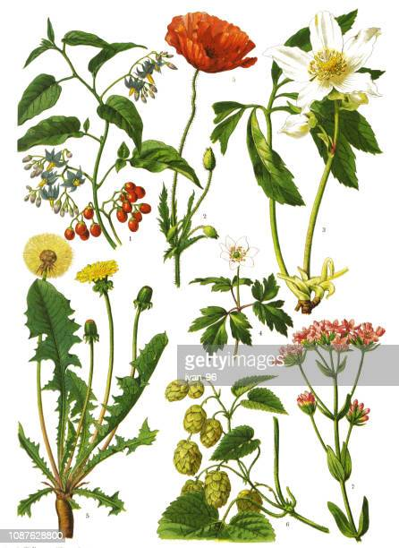 medicinal and herbal plants - ranunculus stock illustrations, clip art, cartoons, & icons