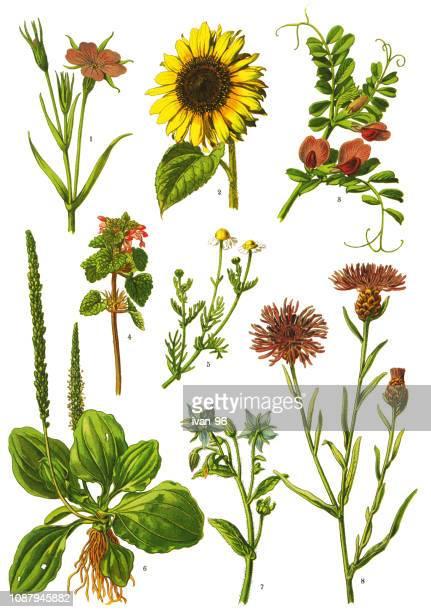 ilustraciones, imágenes clip art, dibujos animados e iconos de stock de plantas medicinales y hierbas - manzanilla