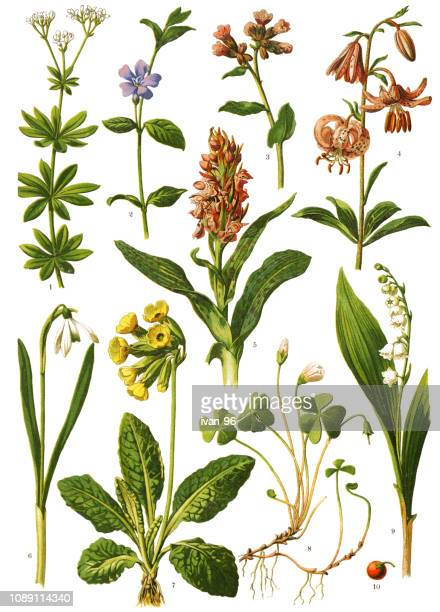 illustrazioni stock, clip art, cartoni animati e icone di tendenza di medicinal and herbal plants - mughetti
