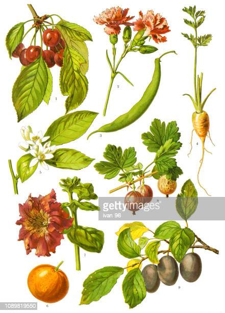 medicinal and herbal plants - bean stock illustrations