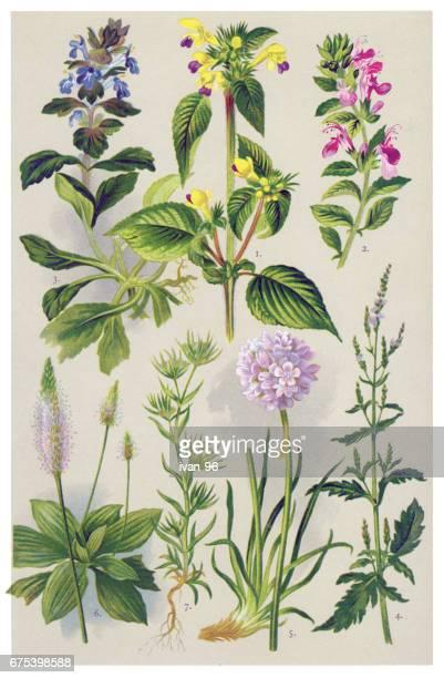 ハーブと薬用植物 - イラクサ点のイラスト素材/クリップアート素材/マンガ素材/アイコン素材