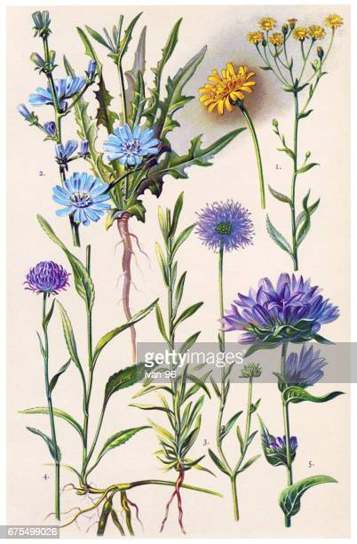 medicinal and herbal plants - chicory stock illustrations, clip art, cartoons, & icons