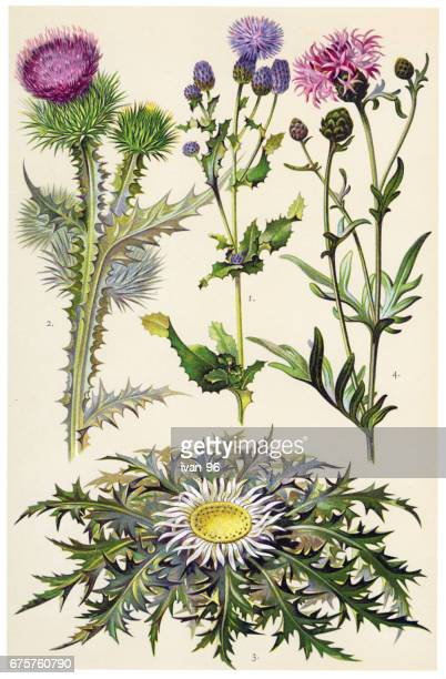 medicinal and herbal plants - thistle stock illustrations, clip art, cartoons, & icons