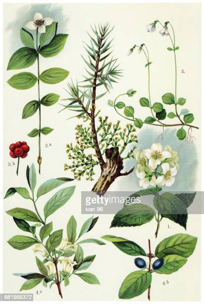 medicinal and herbal plants - arrowwood stock illustrations, clip art, cartoons, & icons