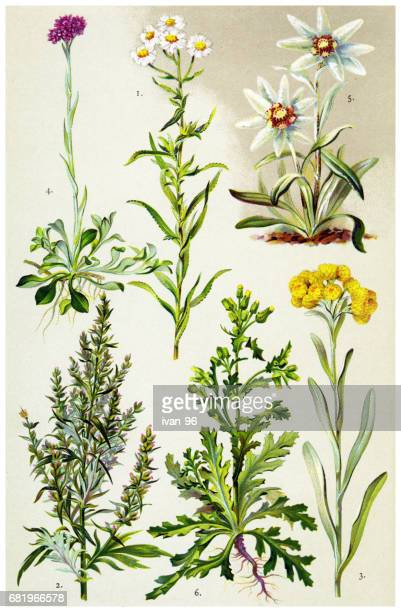 medicinal and herbal plants - wildflower stock illustrations, clip art, cartoons, & icons