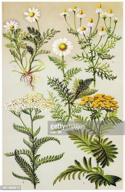 ilustraciones, imágenes clip art, dibujos animados e iconos de stock de plantas medicinales y hierbas - planta de manzanilla