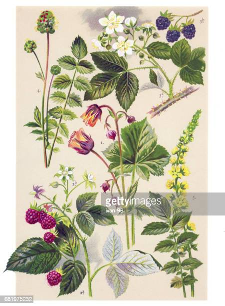medicinal and herbal plants - raspberry stock illustrations, clip art, cartoons, & icons