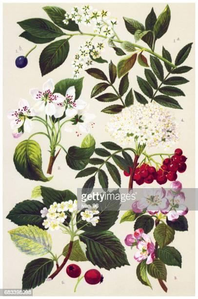 ilustrações, clipart, desenhos animados e ícones de plantas medicinais e ervas - pilritreiro