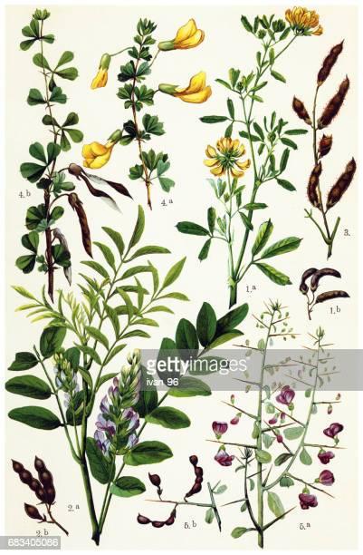ハーブと薬用植物 - アカシア点のイラスト素材/クリップアート素材/マンガ素材/アイコン素材