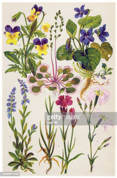 medicinal and herbal plants - carnation flower stock illustrations, clip art, cartoons, & icons