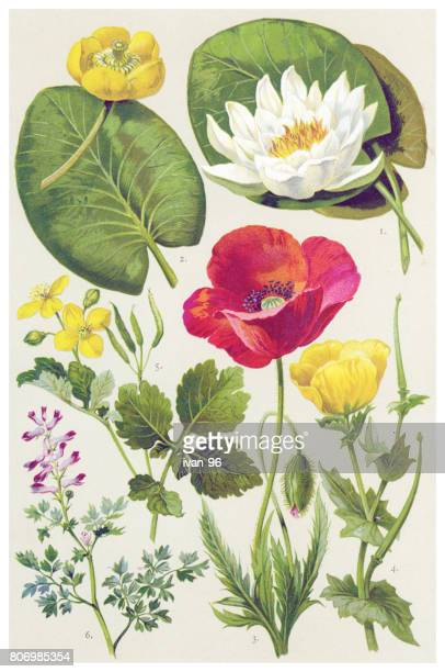 medicinal and herbal plants - lily stock illustrations, clip art, cartoons, & icons