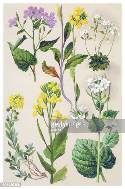 medicinal and herbal plants - brussels sprout stock illustrations, clip art, cartoons, & icons