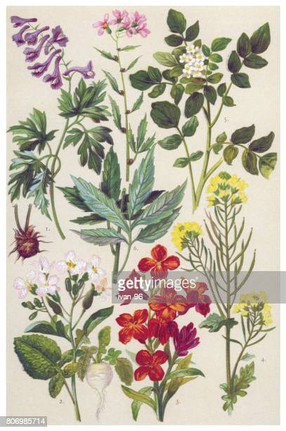 medicinal and herbal plants - botany stock illustrations