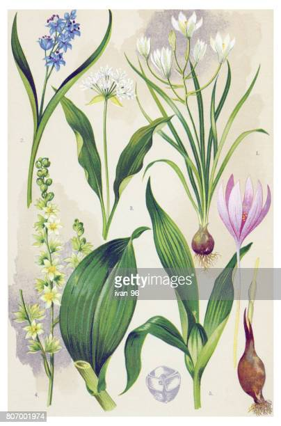 medicinal and herbal plants - plant bulb stock illustrations
