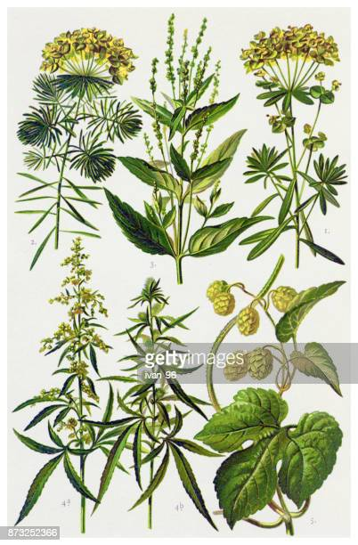 medicinal and herbal plants - hemp stock illustrations, clip art, cartoons, & icons