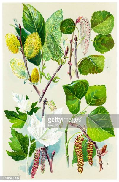 medicinal and herbal plants - aspen tree stock illustrations, clip art, cartoons, & icons