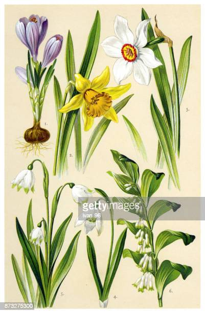 medicinal and herbal plants - narcissus mythological character stock illustrations, clip art, cartoons, & icons