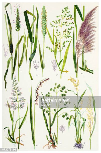 medicinal and herbal plants - rice cereal plant stock illustrations