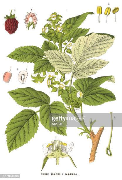 medicinal and herbal plants - juicy stock illustrations, clip art, cartoons, & icons