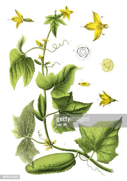 medicinal and herbal plants - cucumber stock illustrations, clip art, cartoons, & icons