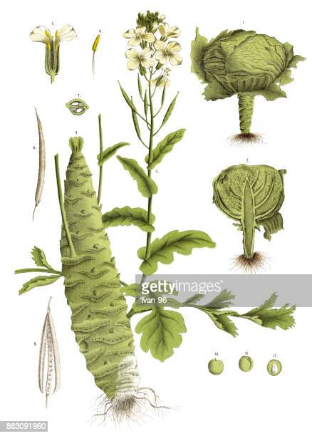 medicinal and herbal plants - white cabbage stock illustrations, clip art, cartoons, & icons