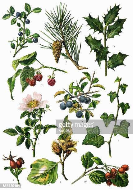 medicinal and herbal plants - antique stock illustrations