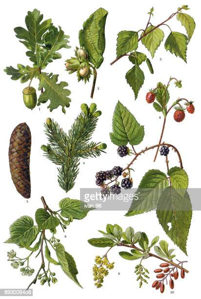 medicinal and herbal plants - lithograph stock illustrations