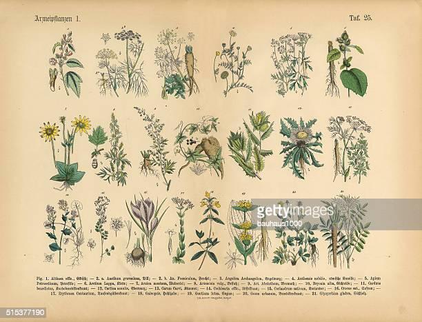 薬用植物やハーブ、ビクトリア様式の植物イラストレーション