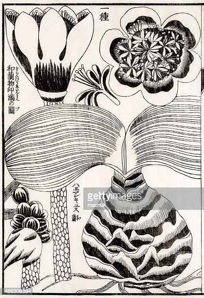 Medicinal plant, 19 century Japanese botanical illustration