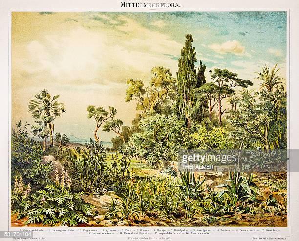 ilustraciones, imágenes clip art, dibujos animados e iconos de stock de mediterráneo flora grabado 1896 - monoimpresión