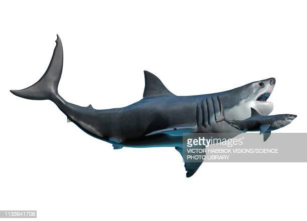 megalodon and shark - scale stock illustrations