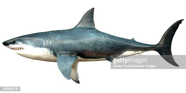 illustrations, cliparts, dessins animés et icônes de a megalodon shark from the cenozoic era. - requin