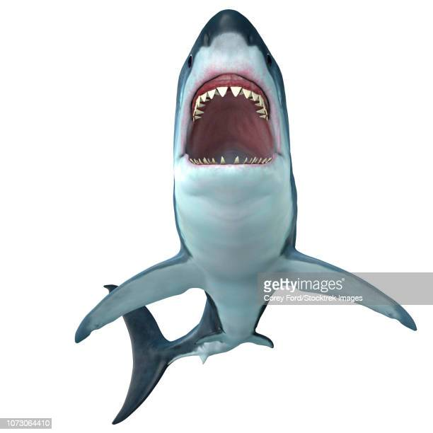 megalodon shark, front profile. - mouth open stock illustrations