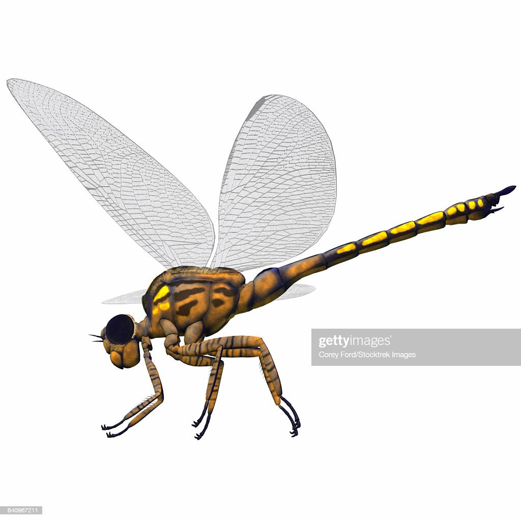 Meganeura insect from the Carboniferous Period. : stock illustration