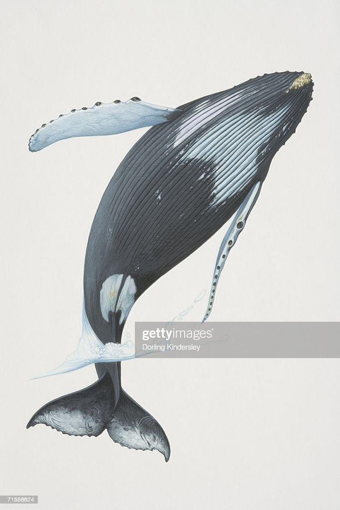 Megaptera novaeangliae, Humpback Whale breaching. : stock illustration