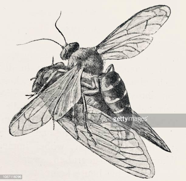 Megastizus speciosus, wasp dragging a captured cicada