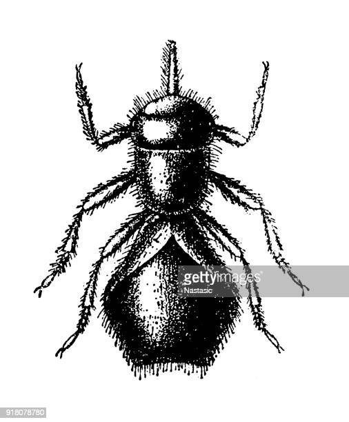Melophagus ovinus, or the sheep ked, is a brown, hairy fly that resembles a tick