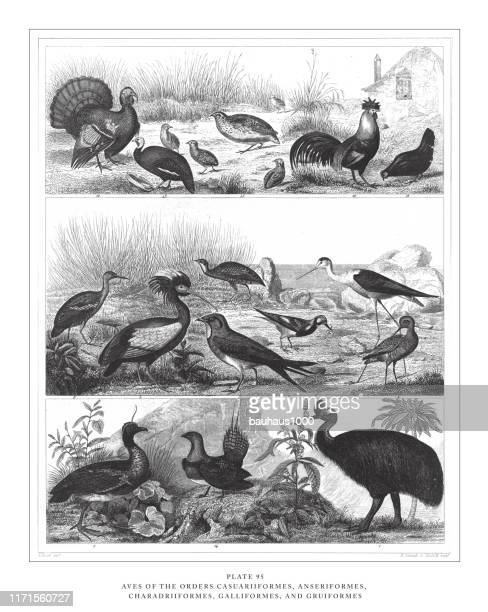 members of the orders ciconiiformes, gruiformes and charadriiformes engraving antique illustration, published 1851 - animals hunting stock illustrations