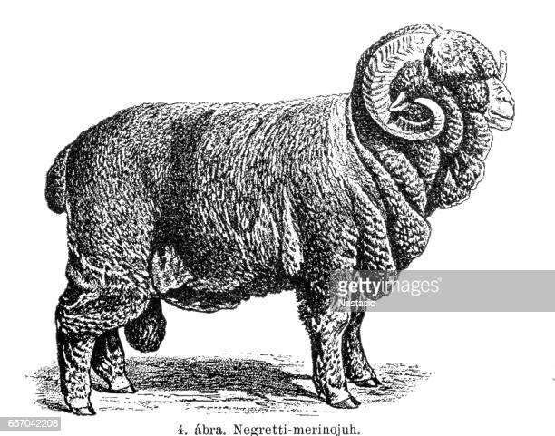 Merino sheep Electoral-Negretti