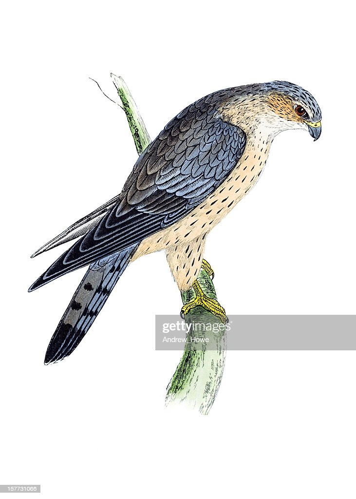 Merlin - Hand Coloured Engraving : stock illustration