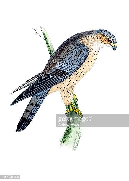 merlin - hand coloured engraving - falcon bird stock illustrations, clip art, cartoons, & icons