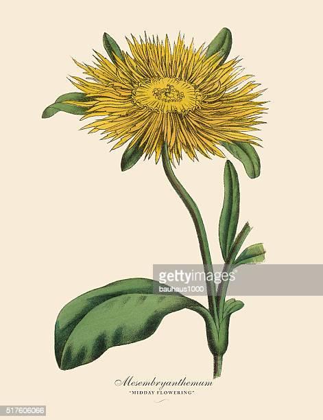 Mesembryanthemum Plant, Victorian Botanical Illustration